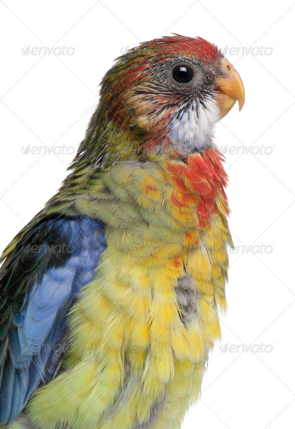 Eastern Rosella, Platycercus eximius, 5 weeks old, in front of white background - Stock Photo - Images