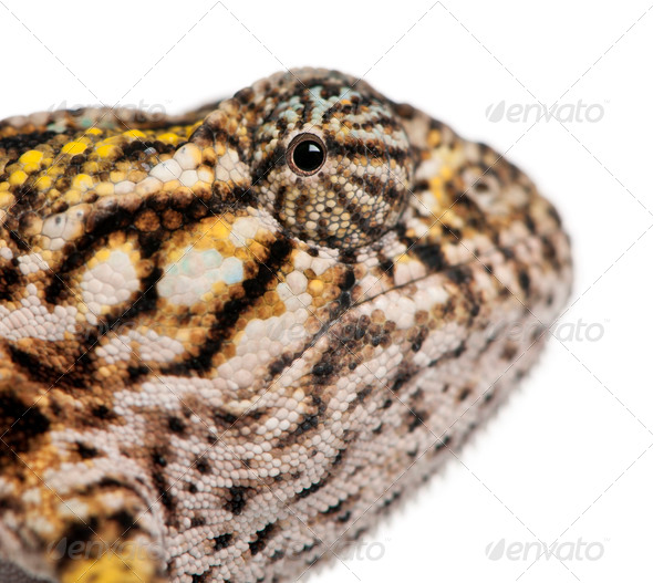 Close-up of Young Panther Chameleon, Furcifer pardalis, in front of white background - Stock Photo - Images