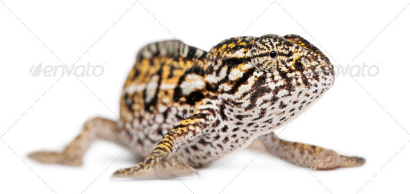 Young Panther Chameleon, Furcifer pardalis, in front of white background - Stock Photo - Images