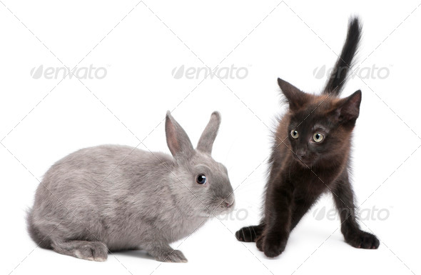 Black kitten playing with rabbit in front of white background - Stock Photo - Images