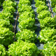 Rows of fresh leafy green lettuce plants - PhotoDune Item for Sale