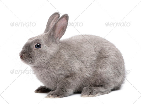 Grey Rabbit in front of white background - Stock Photo - Images