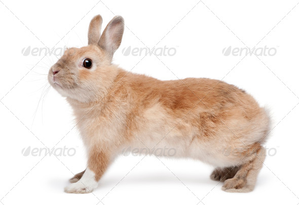 Brown Rabbit in front of white background - Stock Photo - Images