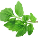 Valerian leaves v.officinalis, paths - PhotoDune Item for Sale