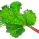 Rhubarb leaf r. rhabarbarum, paths - PhotoDune Item for Sale
