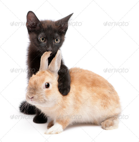 Black kitten with paw around rabbit in front of white background - Stock Photo - Images