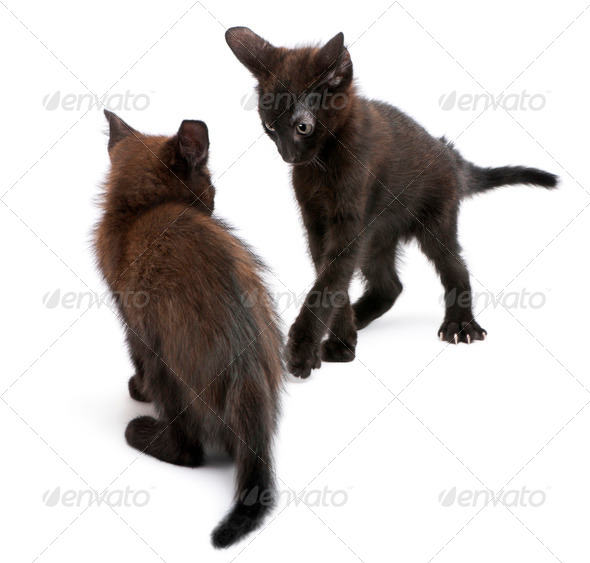 Two black kittens playing together in front of white background - Stock Photo - Images