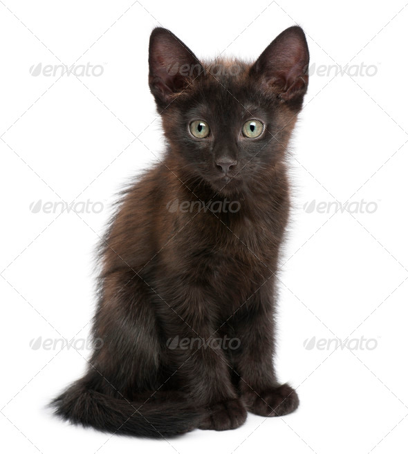 Portrait of black kitten in front of white background - Stock Photo - Images