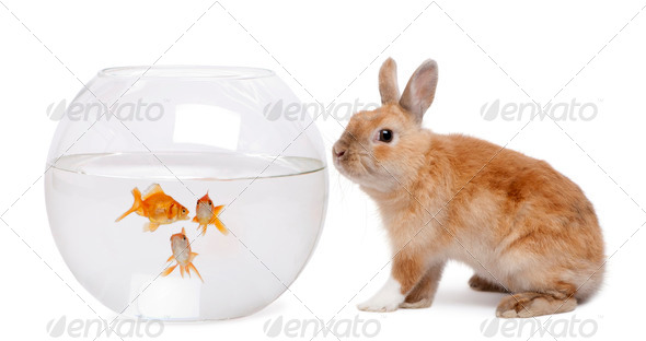 Rabbit looking at goldfish in bowl in front of white background - Stock Photo - Images