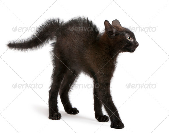 Frightened black kitten standing in front of white background - Stock Photo - Images