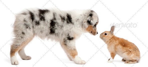 Blue Merle Australian Shepherd puppy face to face with rabbit, sitting in front of white background - Stock Photo - Images