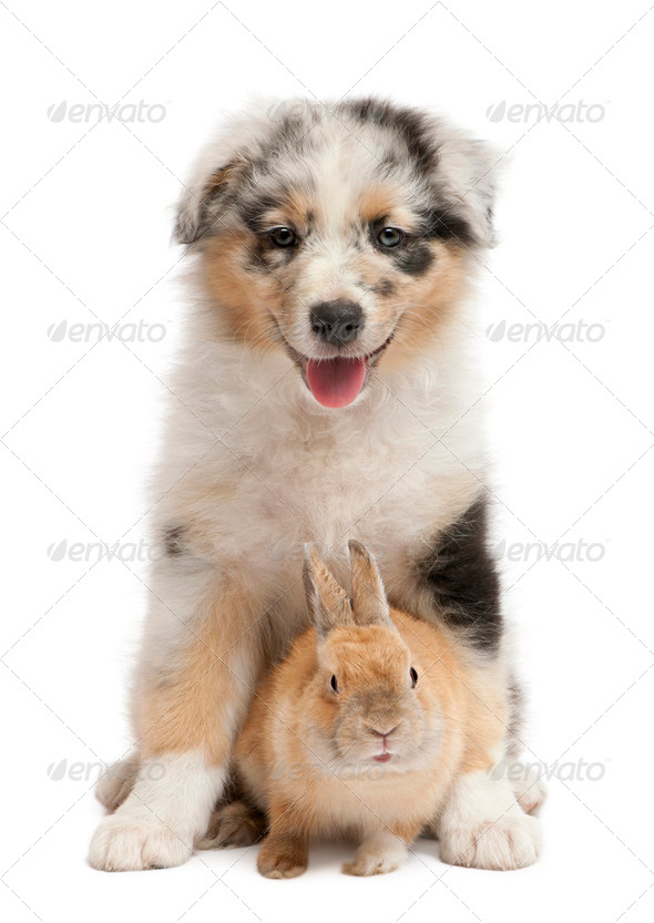 Blue Merle Australian Shepherd puppy playing with rabbit, sitting in front of white background - Stock Photo - Images