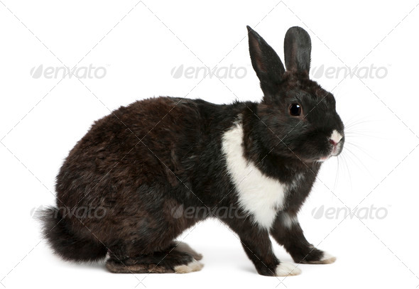 Black and white Rabbit in front of white background - Stock Photo - Images