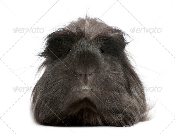 Peruvian guinea pig, Cavia porcellus, lying in front of white background - Stock Photo - Images