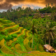 Green rice fields on Bali island, Jatiluwih near Ubud, Indonesia - PhotoDune Item for Sale