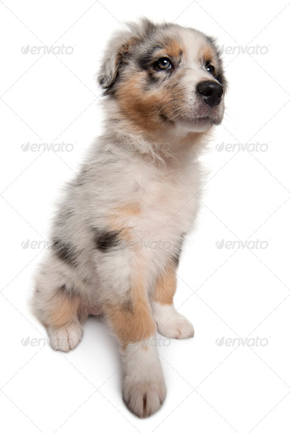 Blue Merle Australian Shepherd puppy, 10 weeks old, sitting in front of white background - Stock Photo - Images