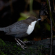White-throated dipper (Cinclus cinclus) - PhotoDune Item for Sale