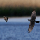 Western jackdaw (Coloeus monedula) chasing a Common starling (Sturnus vulgaris) - PhotoDune Item for Sale