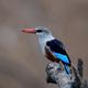 Grey-headed kingfisher (Halcyon leucocephala) - PhotoDune Item for Sale