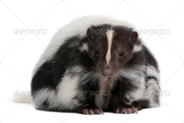 Striped Skunk, Mephitis Mephitis, 5 years old, sitting in front of white background - Stock Photo - Images