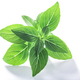 Greek basil o.basilicum, paths - PhotoDune Item for Sale
