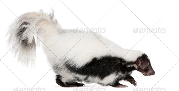 Striped Skunk, Mephitis Mephitis, 5 years old, standing in front of white background - Stock Photo - Images