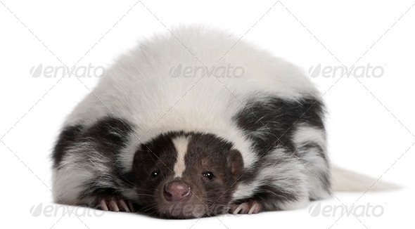 Striped Skunk, Mephitis Mephitis, 5 years old, lying in front of white background - Stock Photo - Images