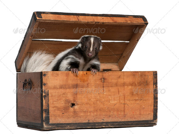 Striped Skunk, Mephitis Mephitis, 5 years old, coming out of box in front of white background - Stock Photo - Images