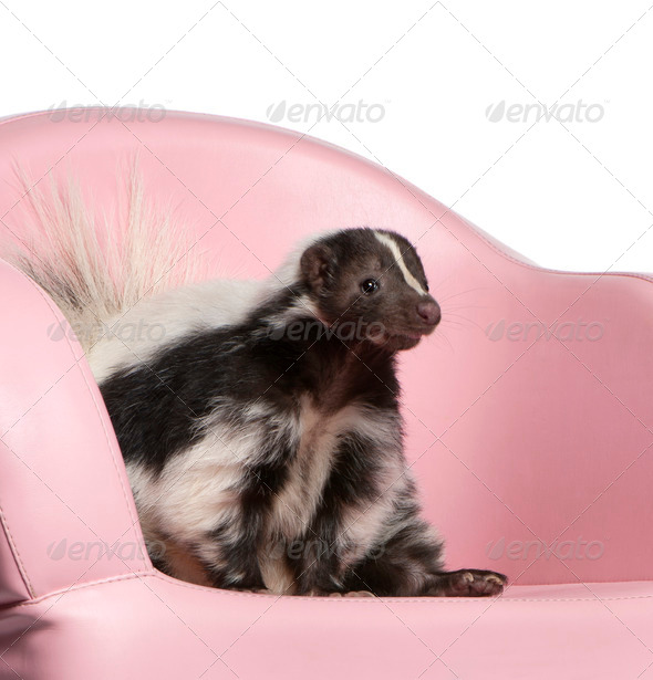 Striped Skunk, Mephitis Mephitis, 5 years old, sitting on pink armchair in front of white background - Stock Photo - Images