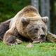Close-up sleep brown bear portrait. Danger animal in nature habitat - PhotoDune Item for Sale