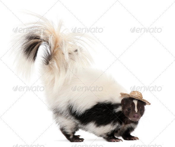 Striped Skunk, Mephitis Mephitis, 5 years old, wearing a hat in front of white background - Stock Photo - Images