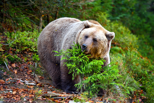 European brown bear in the autumn forest. Big brown bear in forest. - Stock Photo - Images
