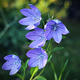 Balloon flowers - PhotoDune Item for Sale