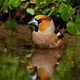 Colorful male hawfinch bathing in water with green leafs in background - PhotoDune Item for Sale