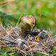 willow warbler feeding little chicks on nest in summer nature - PhotoDune Item for Sale