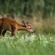 Elegant roe deer doe stretching neck and sniffing a flower on blooming meadow - PhotoDune Item for Sale