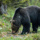Dominant brown bear male drinking water from stream in forest - PhotoDune Item for Sale