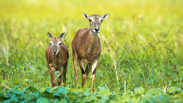 Female mouflon with young walking forward and looking on field in summer - Stock Photo - Images