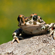 Cute european green toad peeking out with legs and fingers on the branch - PhotoDune Item for Sale