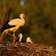 Young white stork standing and lying down on nest sunlit by evening rays - PhotoDune Item for Sale