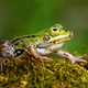 Small edible frog with green skin and big yellow eye in summer nature - PhotoDune Item for Sale