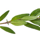 leaves of fresh hyssop (hyssopus) herb isolated - PhotoDune Item for Sale