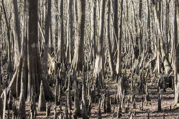 Forest of bald cypress trees, Taxodium Distichum, along the Suwanee River in Florida, USA. - Stock Photo - Images