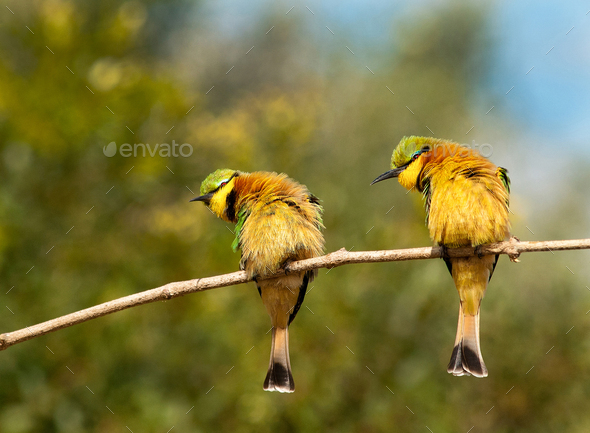 Two little bee-eaters, Merops pusillus, perch on a thin branch, both lean left, puffed up feathers - Stock Photo - Images