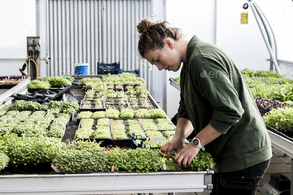 Female gardener standing in a greenhouse, cutting young vegetable plants with pair of scissors. - Stock Photo - Images