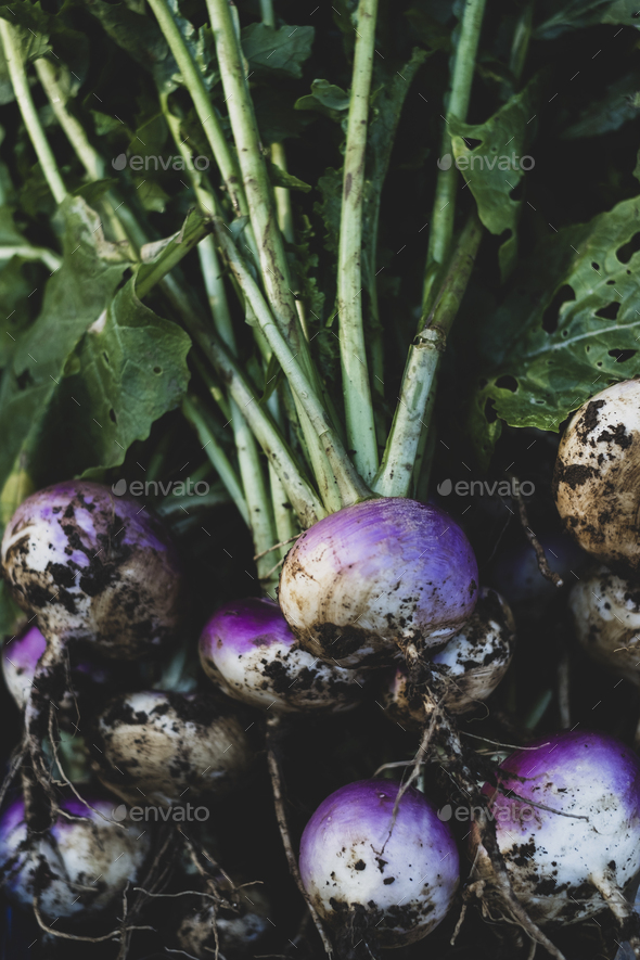 High angle close up of bunch of freshly harvested turnips. - Stock Photo - Images