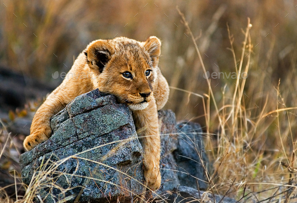 A lion cub, Panthera leo, lies on a boulder, draping its fron legs over the rock, looking away, - Stock Photo - Images