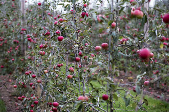 Apple trees in an organic orchard garden in autumn, red fruits ready for picking on branches of - Stock Photo - Images