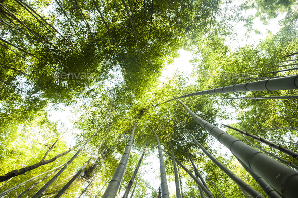 Low angle view of a bamboo forests with lush green canopy. - Stock Photo - Images