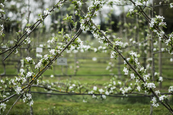 Close up of white blossoms on branches in spring. - Stock Photo - Images